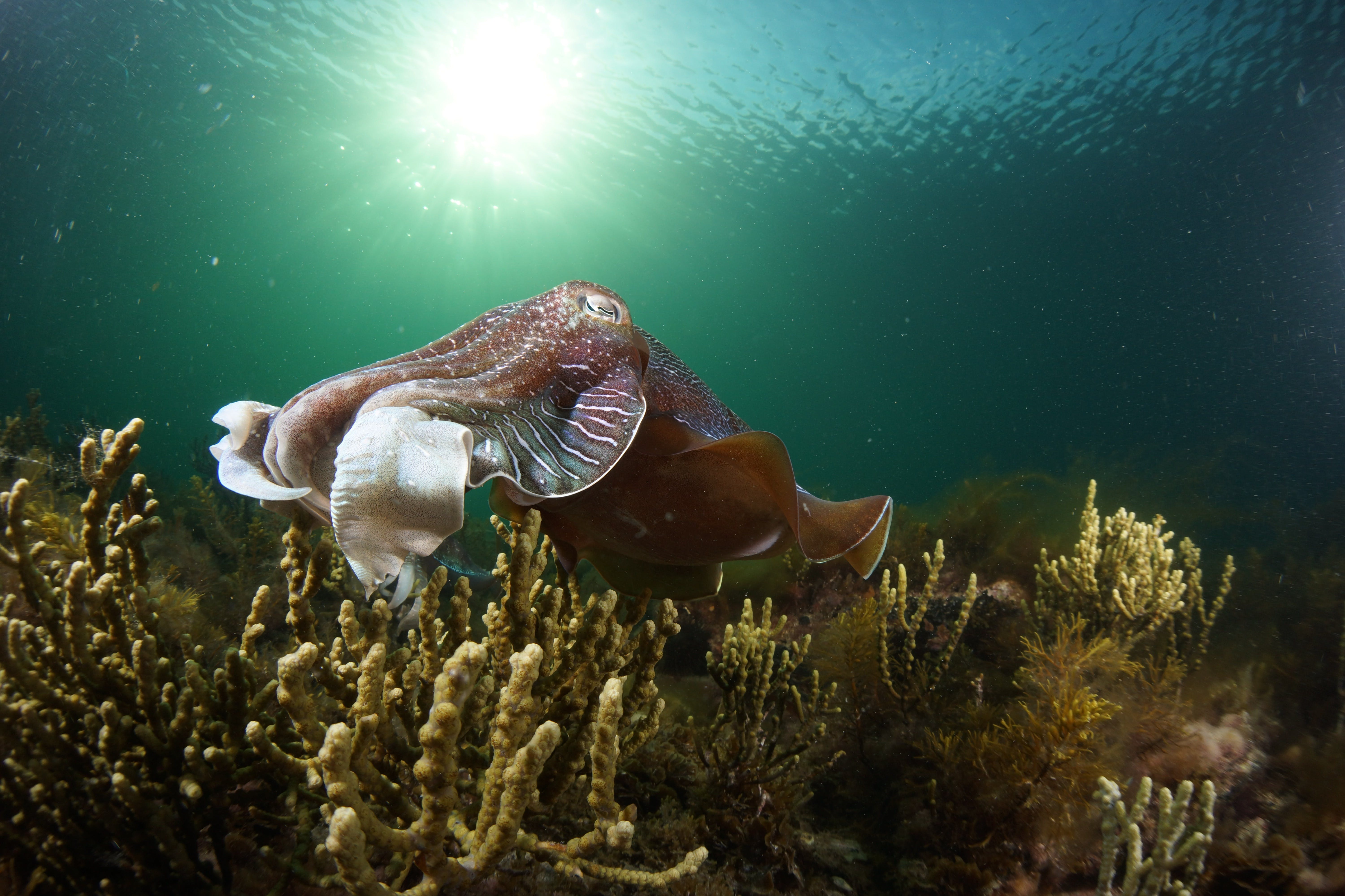 Cuttlefish Diving  Snorkeling EVERYDAY May -August - Hotel Accommodation